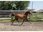 Performance Prospect: Welsh Gelding, Yearling