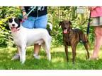 Adopt Apollo & Jazz A Pit Bull Terrier / Labrador Retriever / Mixed Dog In