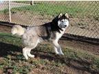 Adopt A Black - With White Husky / Mixed Dog In Modesto, CA (28767806)