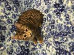 Adopt JAMES a Brown Tabby Domestic Shorthair / Mixed (short coat) cat in