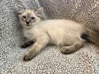 Adopt McDreamy a Cream or Ivory (Mostly) Siamese (medium coat) cat in Discovery