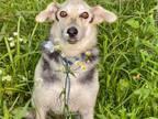 Adopt Stormy a Labrador Retriever