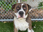 Adopt BILLY A Brindle - With White American Pit Bull Terrier / Mixed Dog In