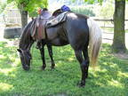 Rocky Mountain Horse-Gaited Mare Experienced