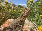 Adopt Finnie a Lizard reptile,