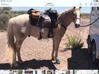 talented and exceptional 14 yo quarter horse gelding for sale