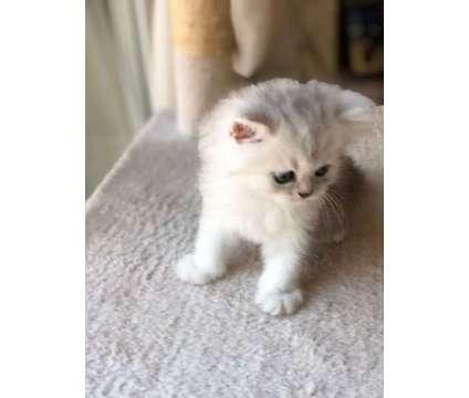 Persian Kittens - Silver Dollface is a Grey Female Persian Kitten For Sale in Riverside CA