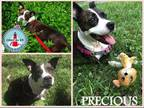 Adopt Precious a Brindle American Staffordshire Terrier / Mixed dog in St.