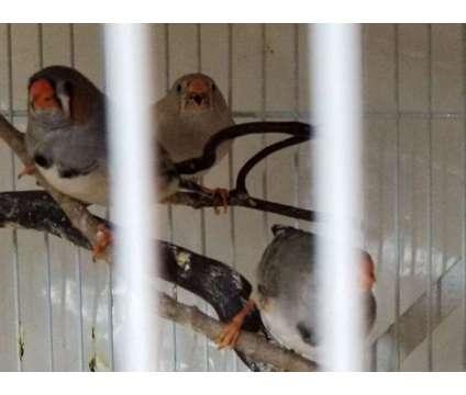 Finch: Zebra Finches is a Female, Male Finch For Sale in Houston TX