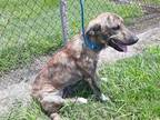 Adopt a Brindle Labrador Retriever / Mixed dog in Houston, TX (28967239)
