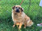 Adopt Luna a Brown/Chocolate Chow Chow / Golden Retriever / Mixed dog in