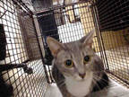 Adopt LUCY a Gray or Blue (Mostly) Domestic Shorthair / Mixed (short coat) cat