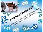 Adopt A506441 a German Shorthaired Pointer, Mixed Breed