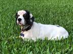 Adopt Helen a White - with Black Cocker Spaniel / Mixed dog in Cape Coral