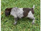 German Shorthaired Pointer Puppy for sale in Houston, TX, USA