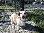 Adopt SMOKY A Brown/Chocolate - With White Dachshund / Mixed Dog In Fort Wayne
