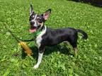 Adopt Serena a Tricolor (Tan/Brown & Black & White) Rat Terrier / Mixed dog in