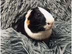 Adopt Kane Brown a Multi Guinea Pig small animal in Fort Lauderdale