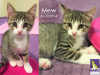 Adopt MEW A Brown Tabby Domestic Shorthair / Mixed (short Coat) Cat In Houston