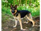 Adopt Harley a German Shepherd Dog