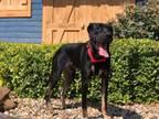 Adopt Henry a Labrador Retriever