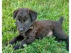 Adopt Fred (NOT ACCEPTING ANY MORE APPLICATIONS) a Poodle, Mixed Breed