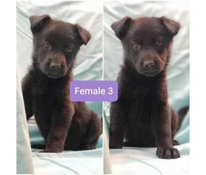 AKC German Shepherd Puppies is a German Shepherd Puppy For Sale in Olympia WA