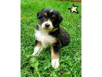 Aussie Collie Puppies