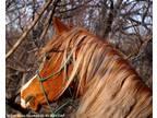 Gorgeous unusually colored Straight Egyptian Arabian Stallion