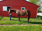 Jaded Southern Image, 15.2H, 11 Year Old AQHA Sorrel Mare