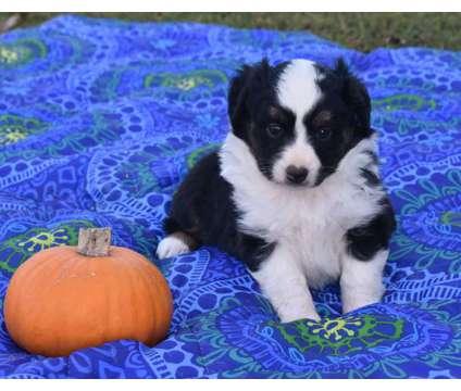 Toy & Mini Australian Shepherds is a Female Miniature Australian Shepherd Puppy For Sale in Milan TN