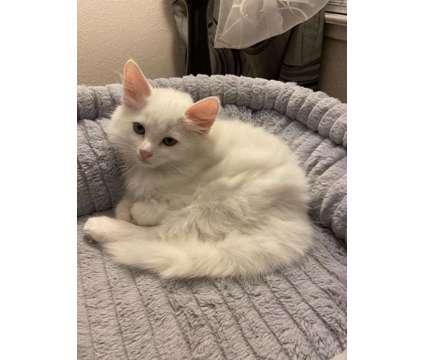 Kitten is a Male Siberian Kitten For Sale in Sacramento CA