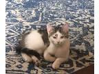 Priya, American Shorthair For Adoption In Huntsville, Alabama