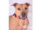 Adopt Jazzy a Tan/Yellow/Fawn - with White Shar Pei / American Pit Bull Terrier