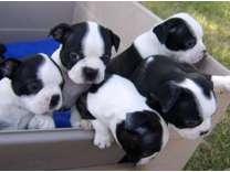 Charming Boston Terrier Puppies WhatsApp Me At # 074183 ( ͡° ͜ʖ ͡°) 27076