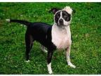 Esther American Pit Bull Terrier Adult Female