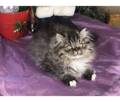 Napoleon Minuet Munchkin and Persian kittens for adoption is a Munchkin, Persian Kitten For Sale in Nashville TN