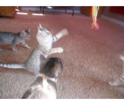 Egyptian Mau kittens is a Egyptian Mau Kitten For Sale in Hamilton KS