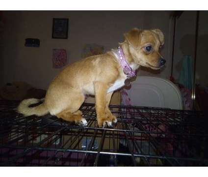 Female Pomeranian Chihuahua is a Female Chihuahua Puppy For Sale in Riverside CA