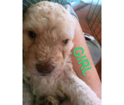 Poodles puppies is a Female Poodle Puppy For Sale in Buffalo NY