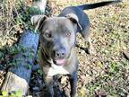 Adopt SMALLS A Gray/Silver/Salt & Pepper - With White American Pit Bull Terrier