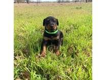 Smart Doberman Pinscher Puppies For Sale