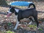 Adopt Samson a Labrador Retriever, Border Collie