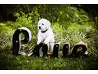 Labrador Retriever Puppy for sale in Unknown, , USA