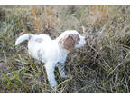 Goldendoodle Puppy for sale in Harrodsburg, KY, USA