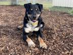 Adopt JAKE A Australian Cattle Dog / Blue Heeler, Mixed Breed