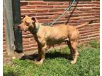 Adopt Hope a Pit Bull Terrier, Mixed Breed