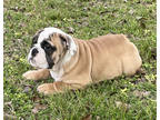 Bulldog Puppy for sale in Leesburg, FL, USA