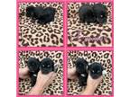 Alaskan Klee Kai Puppy for sale in Clifton, KS, USA