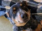 Adopt DERVISH A Tricolor (Tan/Brown & Black & White) Australian Cattle Dog /